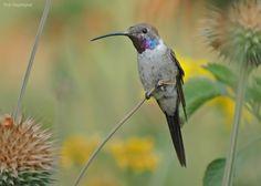Oasis Hummingbird - Peru, 2010