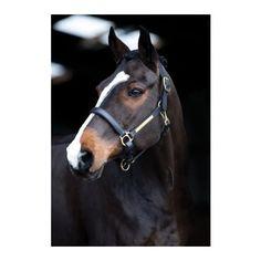 Licol Cuir Amigo HORSEWARE