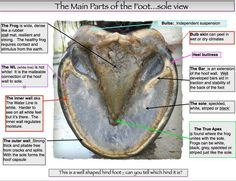 Get to know your horse's hoof, and what a healthy one should look . Horse Anatomy, Animal Anatomy, Horse Information, Horse Care Tips, Horse Facts, Horse Camp, Horse Training Tips, All About Horses, Horse Quotes