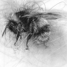 Charcoal rendering of a Buff Tailed Bumblebee d6d27ee16633