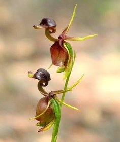 Calaena major, the FLYING DUCK ORCHID  is a small orchid found in eastern n southern Australia. This terrestrial plant features a remarkable flower, resembling a fuck in flight. In 1986 this orchid was featured on an Australian postage stamp. Pollinated by insects, a strap is attached to the flower, which is triggered by vibration. Flowering occurs frm Sept-Jan