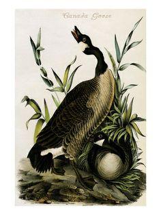Canada Goose trillium parka replica price - 1000+ images about John James Audubon Prints on Pinterest | John ...