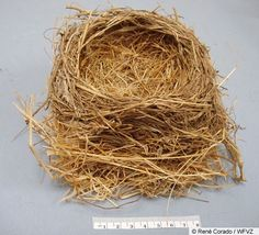 Google Image Result for http://www.allaboutbirds.org/guide/PHOTO/LARGE/american_robin_nest.jpeg