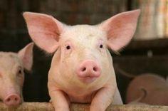 Grisar ska inte ha ont. Coop betalar 4 kr till alla lantbrukare som bedövar grisarna vid kastrering.