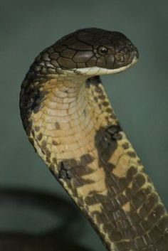 Kill the snake first, then turn it over and if there is black markings on on the underside just below where the throat would be...you know it was a Cobra! VB