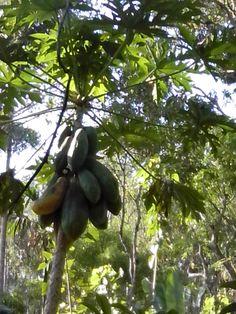 1 of d many varieties of papaya. very sweet