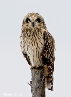 Short-eared Owl has a large range, estimated globally at square kilom. Owl Photos, Owl Pictures, Beautiful Owl, Animals Beautiful, Owl Bird, Pet Birds, Short Eared Owl, Birds Of Prey, Bird Species