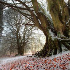 Kinclaven, Scotland  Winter Beech (by angus clyne)
