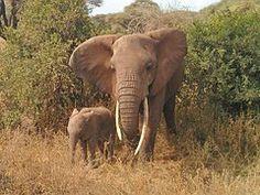 Éléphant, Animaux, Afrique