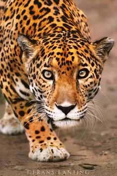 ~~Jaguar stalking, Panthera onca, Belize by Franz Lanting~~