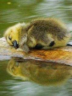 Cute Little Sleeping Baby Duckling - Aww!