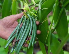 Cactus Plants, Green Beans, Vegetables, Fruit, Garden, Vanilla, Creative, Garten, Cacti