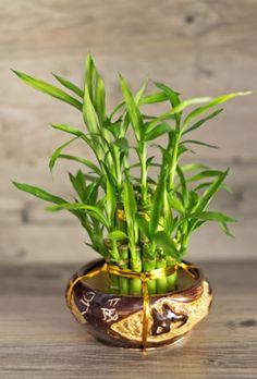 Lucky Bamboo Schale