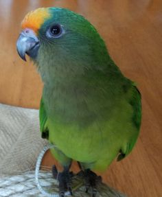 Peach Fronted Conure Tiki at 8 weeks