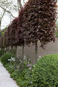 Arne Maynard: pleached copper beech trees in the Laurent-Perrier Bicentenary Garden at RHS Chelsea Flower Show 2012