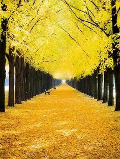 Yellow Fall Leaves trees autumn leaves fall yellow path - would love to walk through