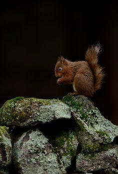 https://flic.kr/p/kVEmoz | Red Squirrel