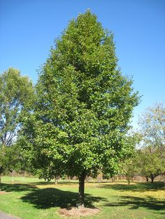 Caring For A Non-Flowering Bradford Pear: Learn Why Bradford Pear Does Not Bloom Pear Trees, Fruit Trees, Trees And Shrubs, Trees To Plant, Bradford Pear Tree, Specimen Trees, Shrub Roses, Pyrus, Tree Care