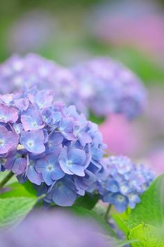 Hydrangea--my favorite color.