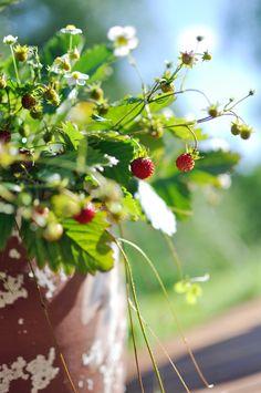 Bratte bakka og grøne lier: ..markjordbær....