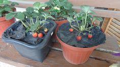 7 dicas imperdíveis para cultivar morangos em vasos