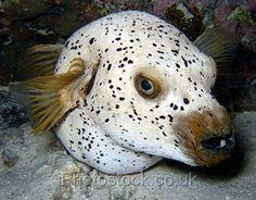 because it's a dog face. Underwater Creatures, Underwater Life, Ocean Creatures, Weird Creatures, Saltwater Tank, Saltwater Aquarium, Aquarium Fish, Beautiful Sea Creatures, Salt Water Fish