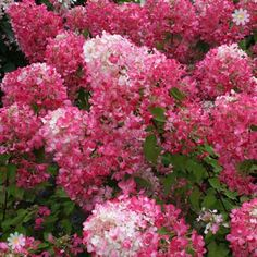 beautiful Hardy Shrubs Pair of Hydrangea paniculata 'Diamant Rouge' plants Check more at http://www.gardenorchid.co.uk/product/hardy-shrubs-pair-of-hydrangea-paniculata-diamant-rouge-plants/