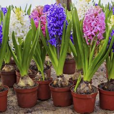 Hyacinths bloom naturally in April in some U.S. climates.
