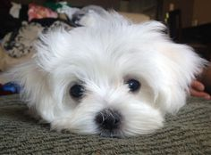 And the fluffy face on this cutie… IT'S TOO MUCH. TOO MUCH TO HANDLE. | 27 Puppies Who Are Too Cute To Be Real