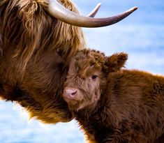 Mom and baby highland cow. Baby Highland Cow, Scottish Highland Cow, Highland Cattle, Cute Baby Cow, Cute Cows, Cute Funny Animals, Baby Farm Animals, Baby Cows, Baby Elephants