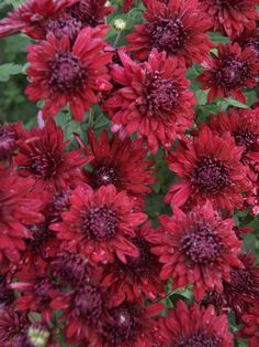 Mum Ruby Mound -- Bluestone Perennials