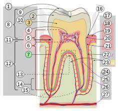 Ligamento periodontal – Wikipédia, a enciclopédia livre