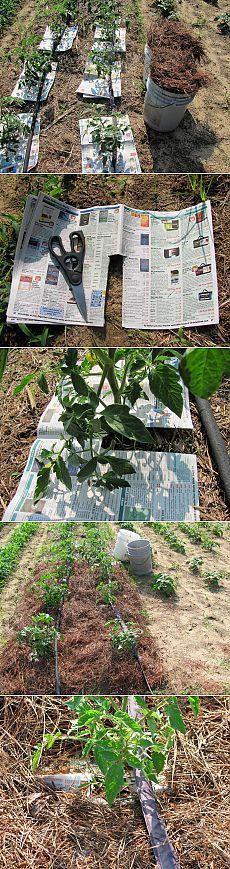Мульчируем помидоры. 1. Слой мульчи должен быть не менее 5-7см. Чем больше слой мульчи, тем меньше сорняков! 2. В качестве мульчи для томатных кустиков лучше всего использовать сосновые иголки, которые можно заготовить заранее.