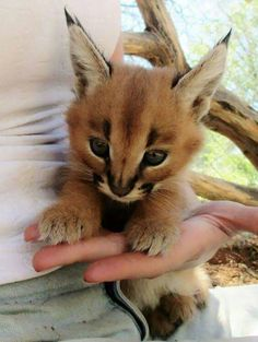 The caracal, the cutest kind of cat - AURELIE ANSCIEAU - - Le caracal, la plus mignonne espèce de chat The most cute caracal cat species Baby Caracal, Caracal Cat, Serval, Cute Kittens, Cats And Kittens, Baby Cats, Baby Kitty, Baby Sloth, Kitty Cats