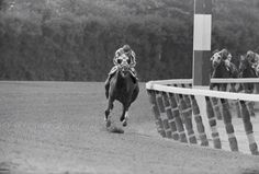 Belmont Park, NY: his hooves off the ground, Secretariat flies around the final turn of the Belmont Stakes June 9th, leading the rest of the field by a wide margin. The super horse romped to a 31 length victory to claim racing's Triple Crown won last by Citation in 1948.