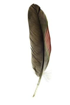 feather - photo/picture definition - feather word and phrase image