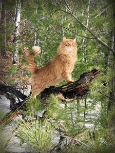 King of the forests