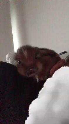♀♡ Pinterest: lil' moonlíght ♡ Baby Animals, Cute Animals, Teacup Pigs, Cute Piggies, Ariana Grande Pictures, Italian Greyhound, Shiba Inu, Australian Shepherd, Queen