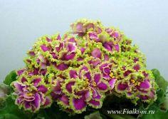 African Violet Saintpaulia Lesnaia Magia Plant Russian Variety | eBay