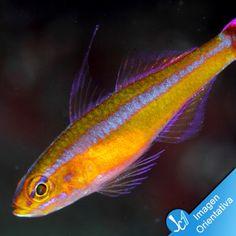 Trimma tevegae Marine Fish, Corals, Pets, Aqua, Animal, Water, Animals, Animals And Pets, Animaux