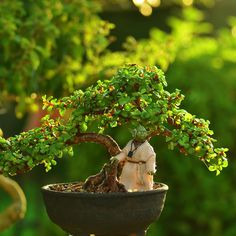 """""""With the force, strong this tree is. #bonsai #bonsaitree #portulacariaafra #portulacaria_afra #yoda #starwarsblackseries #toyphotography #spekboom…"""""""