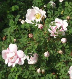 Papulanruusu, VI, 120-150cm, juhannuksen aikaan kukkiva perinneruusumme. Hennohkohaarainen ja tiheä pensas vesoo runsaasti; se on kasvualustan suhteen vaatimaton eikä kaipaa erityisesti hoitoa.  Lehdistö: Erittäin pienet lehdet koostuvat 5–9 pyöreähköstä, tummanvihreästä lehdykästä. Kukinta: Kukat ovat kohtalaisen voimakkaasti tuoksuvat, pallomaisen kerrannaiset ja pienet, 4–6-senttiset. JUhannusruusumainen ja sitrunainen tuoksu.