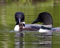 See the loons on Squam Lake!  We recommend early July to see that babies shortly after they hatch!