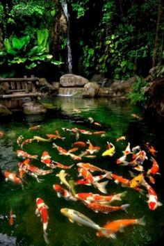 """Koi fish are the domesticated variety of common carp. Actually, the word """"koi"""" comes from the Japanese word that means """"carp"""". Outdoor koi ponds are relaxing. Fish Pond Gardens, Koi Fish Pond, Fish Ponds, Backyard Water Feature, Ponds Backyard, Pond Landscaping, Landscaping With Rocks, Koi Pond Design, Pond Waterfall"""