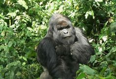 http://www.buscounviaje.com/ficha/gorila-trek-97524?utm_source=Pinterest&utm_medium=Social%20Media&utm_campaign=pinterestdiario  Contemplar los gorilas de montaña en su hábitat natural es una experiencia indescriptible ¿te vienes a Uganda?