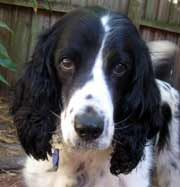 Sadie - FL is an adoptable English Springer Spaniel Dog in Spring Hill, FL. Age: 11 years Gender: Male Color: Black & White Weight: 42 lbs Variety: Field Fostered in : St. Pete, FL. This lovely fieldi...