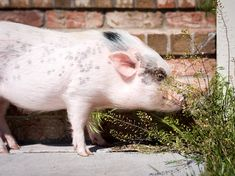 6 Things to Try When Your Mini Pig is in a Funk