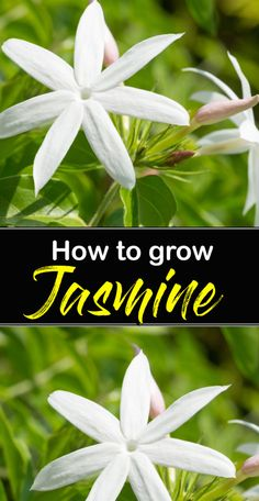Shrubs How to grow Jasmine Planting Shrubs, Garden Shrubs, Garden Plants, Shade Garden, Planting Flowers, Flower Plants, Jasmine Tree, Jasmine Jasmine, Jasmine Plant Indoor