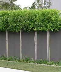 Pleached ficus