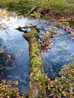 Mossy log in Ha Ha Tonka Springs, Lake of the Ozarks, Missouri